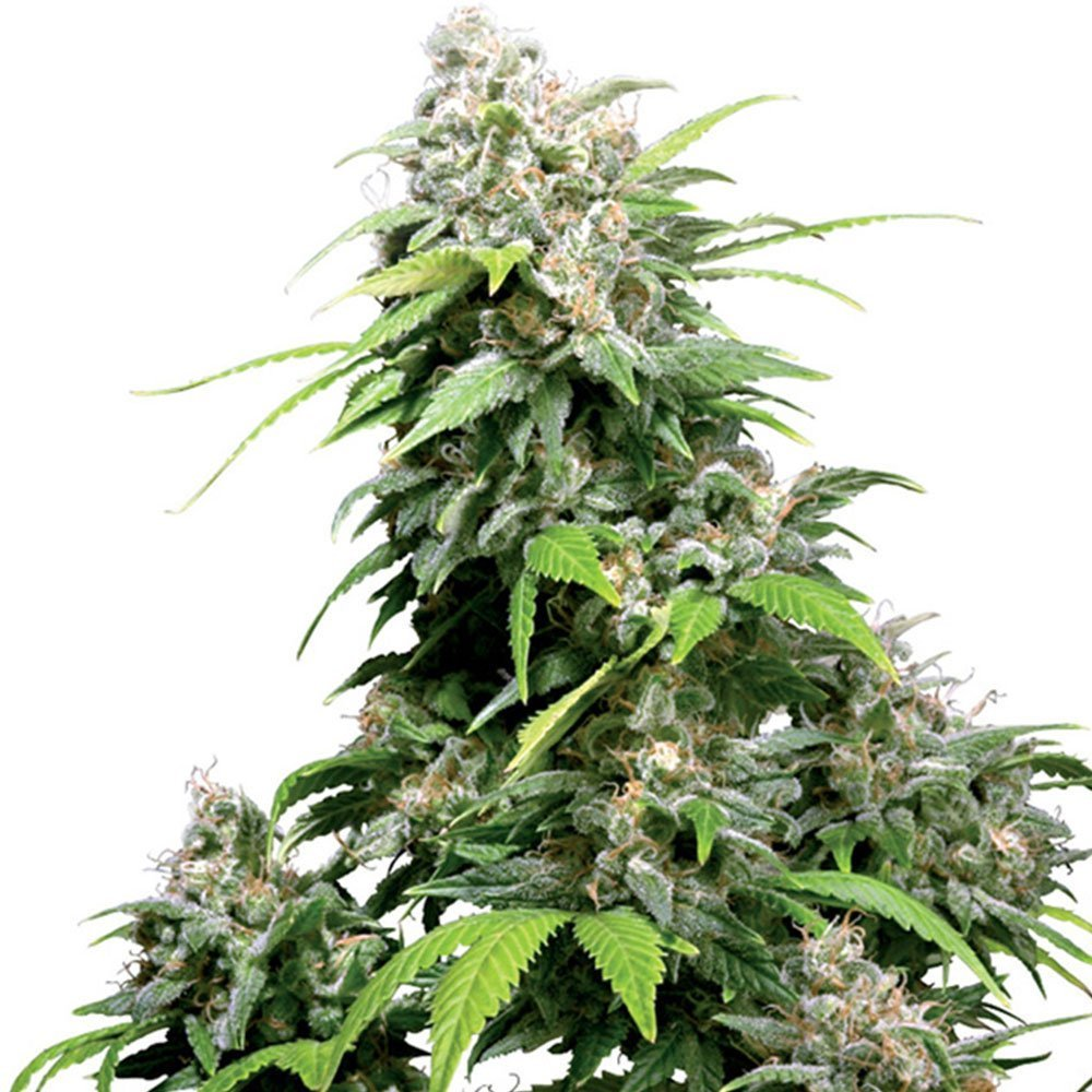 Autoflowering Marijuana Seeds Archives - Pacific Seed Bank