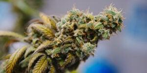 get Feminized Marijuana Seeds