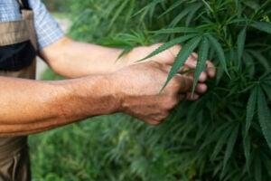 get High CBD Marijuana Seeds