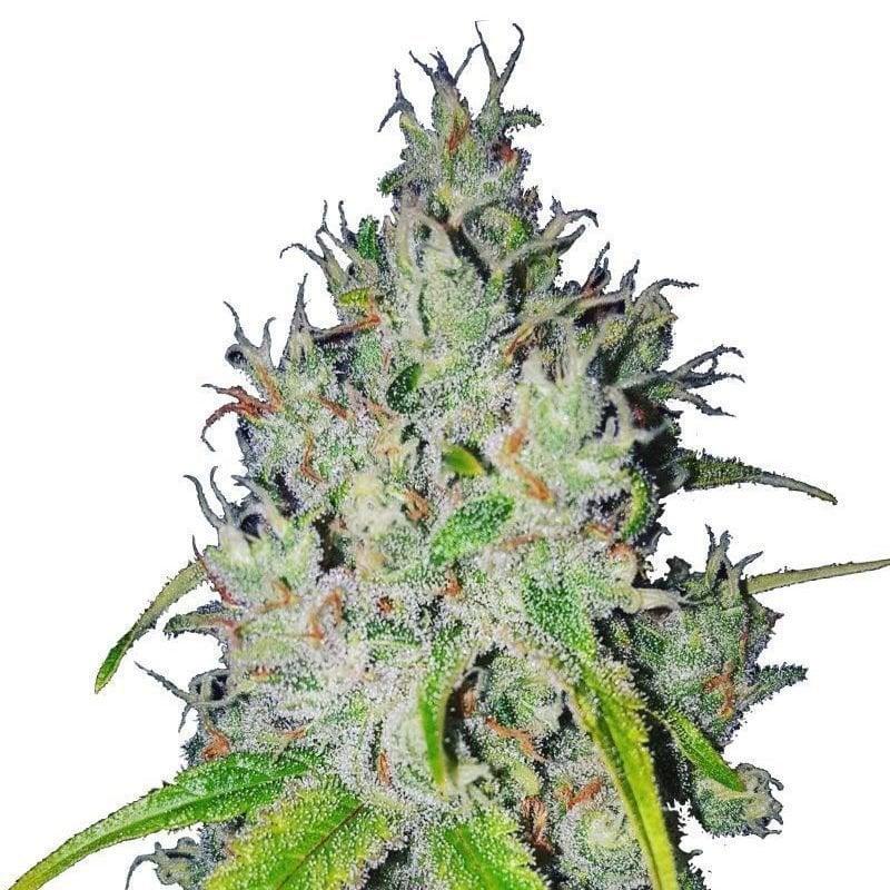 Wholesale Marijuana Seeds - Pacific Seed Bank