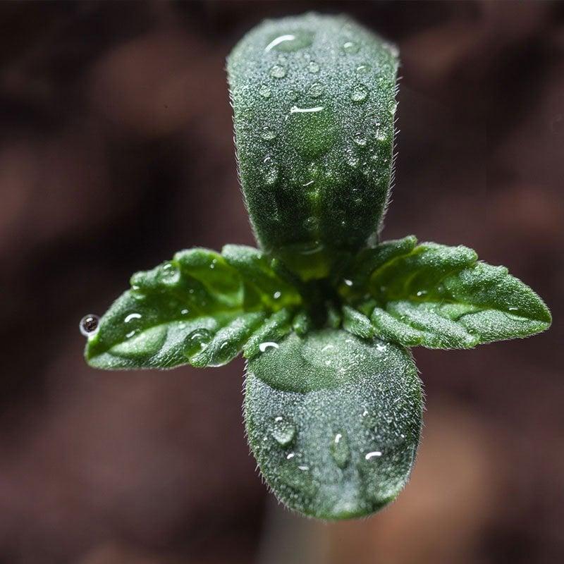 marijuana seeds germination guarantee