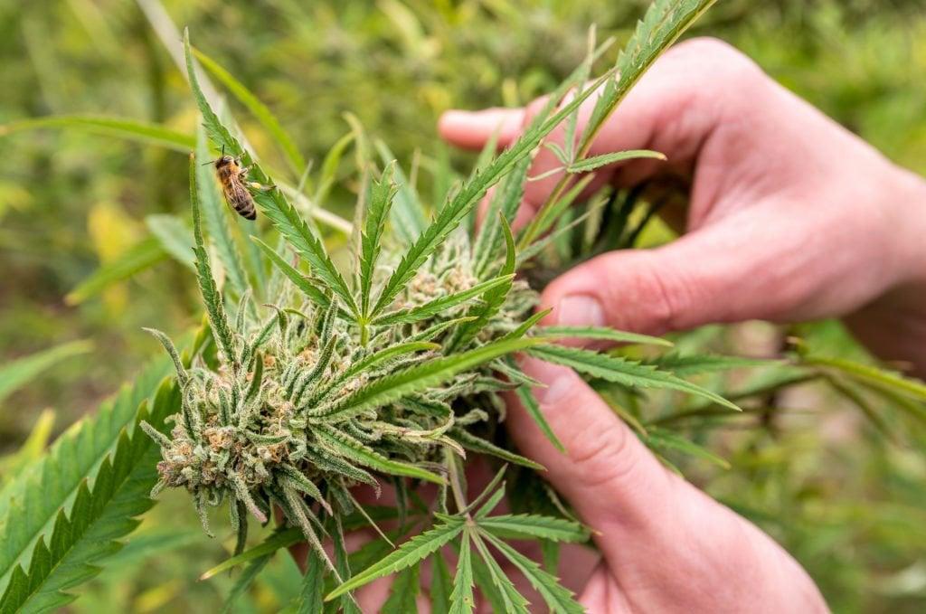 marijuana seeds shop california