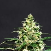 super lemon haze feminized marijuana seeds
