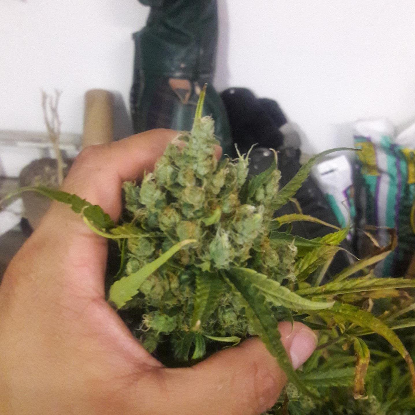 Bubba Kush Autoflowering Feminized Marijuana Seeds