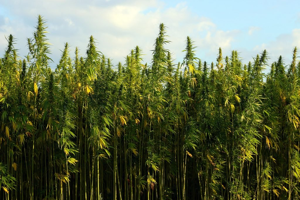 buy-cannabis-seeds-in-indiana