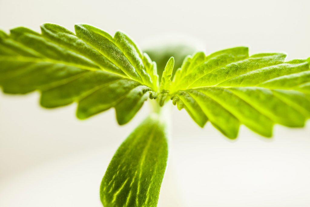 buy-marijuana-seeds-in-nevada