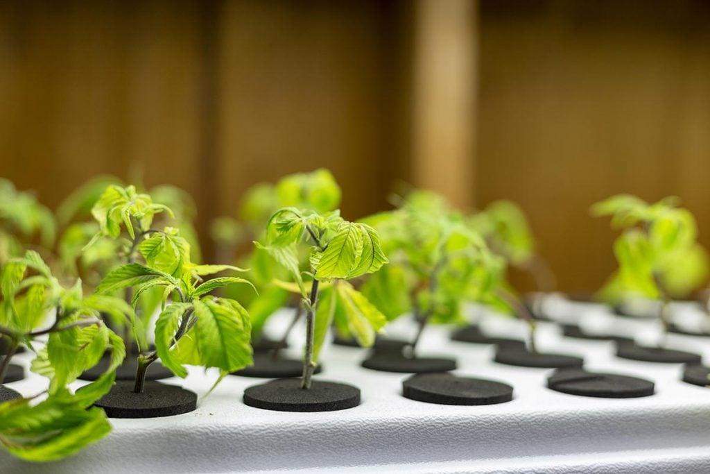 buy-marijuana-seeds-in-virginia