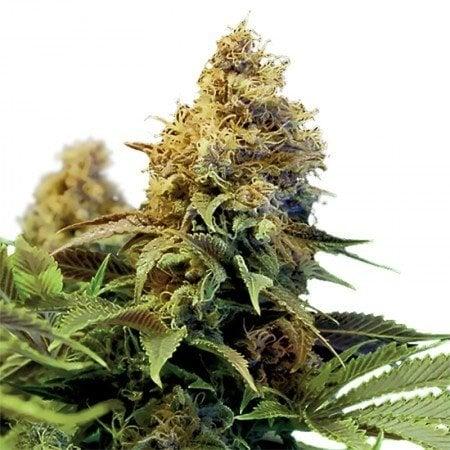 Gods Gift Autoflowering Marijuana Seeds