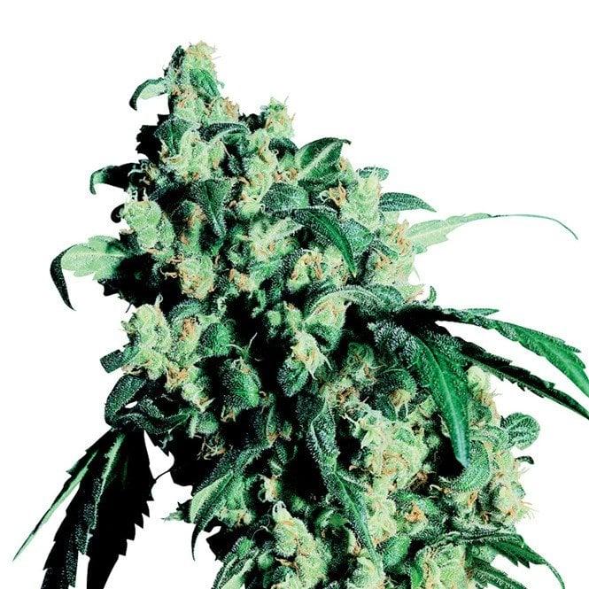 Lemon Drop Autoflowering Marijuana Seeds