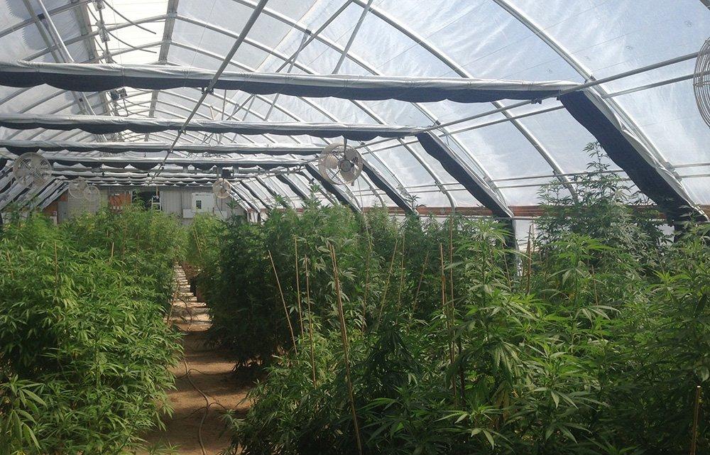 buy-cannabis-seeds-in-hartford