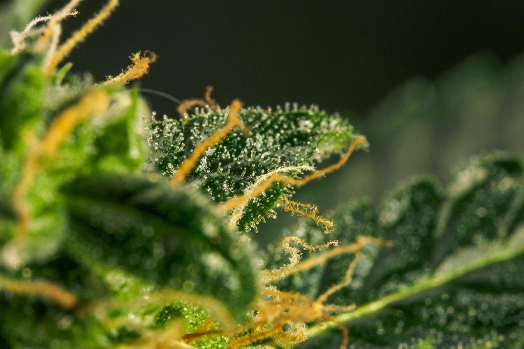 buy-cannabis-seeds-in-idaho-falls