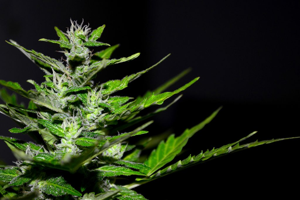buy-marijuana-seeds-billings
