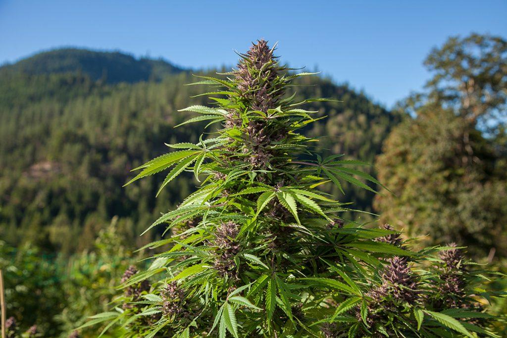 buy-marijuana-seeds-charlotte