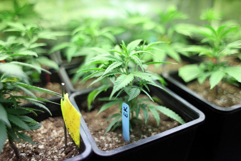buy-marijuana-seeds-fayetteville