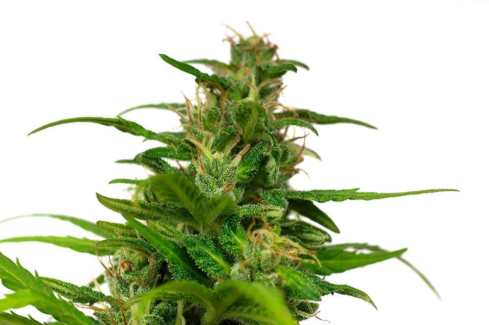 buy-marijuana-seeds-in-denver