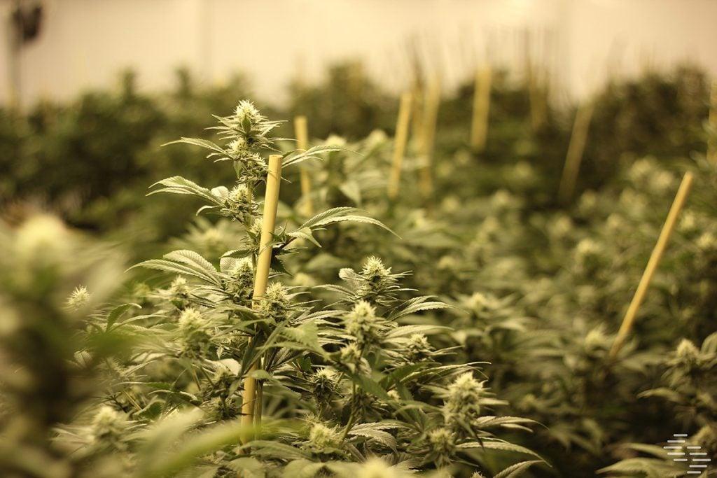 buy-marijuana-seeds-in-miami