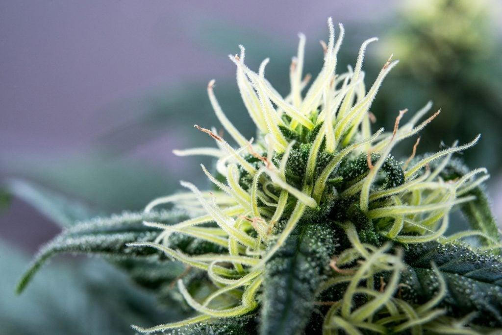 buy-marijuana-seeds-in-rhode-island