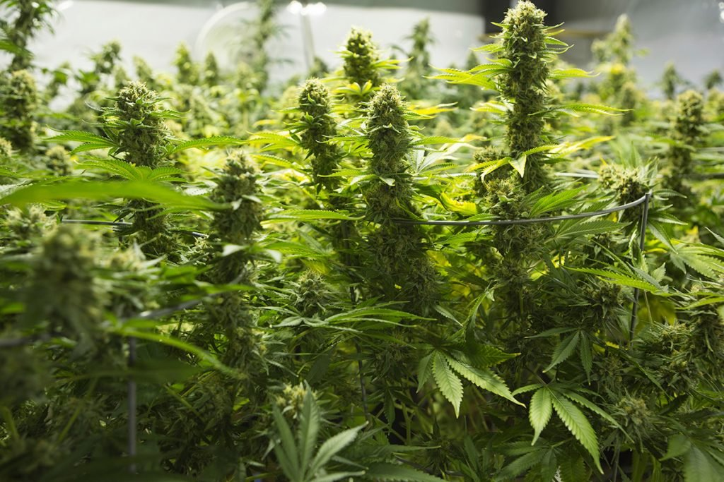 buy-marijuana-seeds-springdale