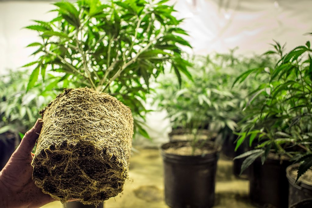 buy-marijuana-seeds-st-paul