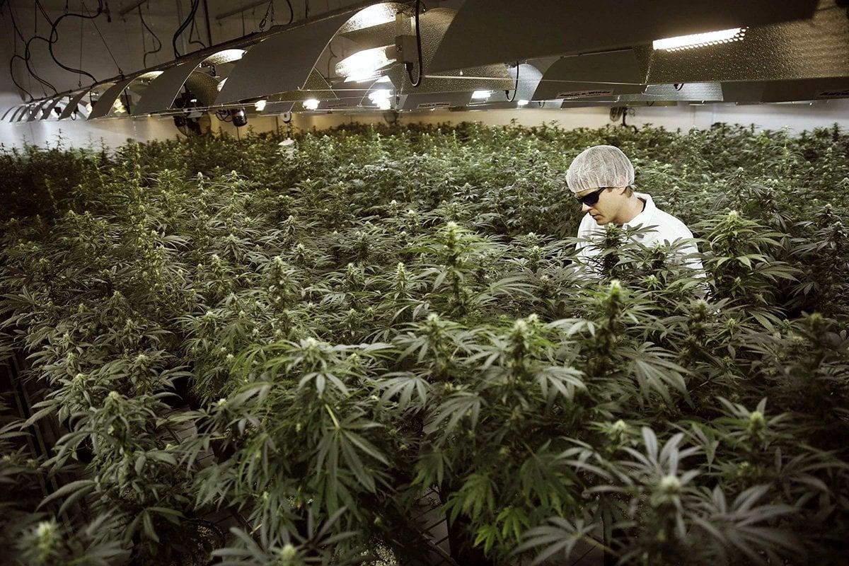 Buy Marijuana Seeds in Miami - Pacific Seed Bank