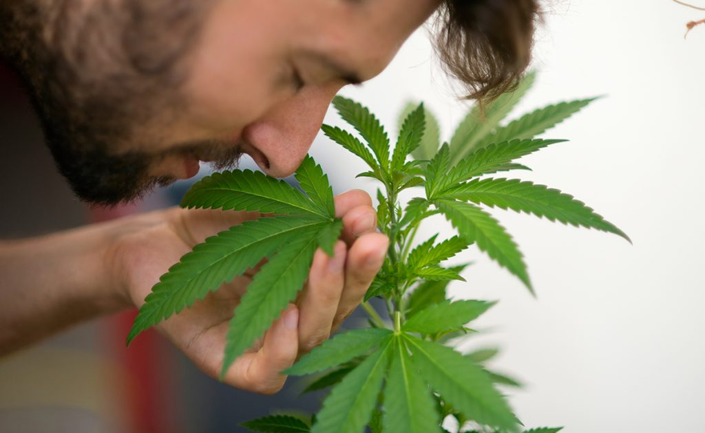 smell of marijuana plants in the home