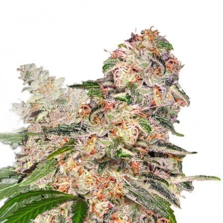 Blue Crack Feminized Marijuana Seeds