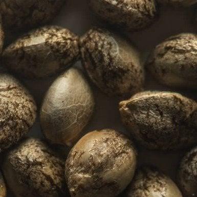 Jet Fuel Feminized Marijuana Seeds - Pacific Seed Bank
