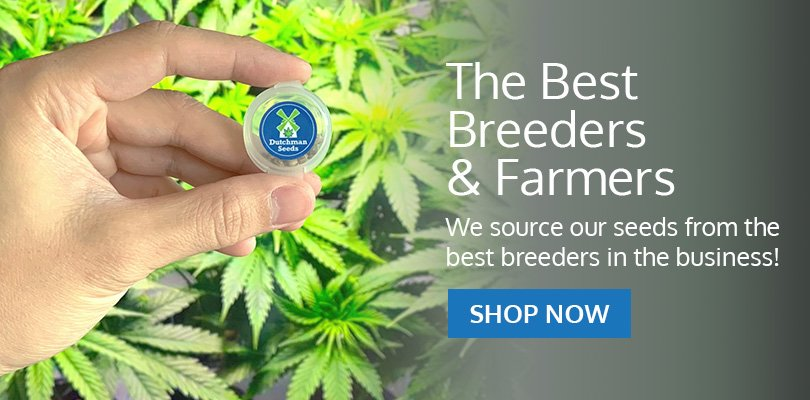 PSB-marijuana-seeds-aurora-1