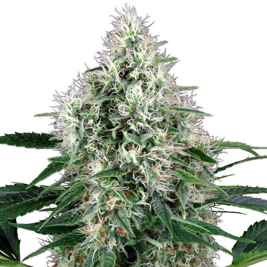 Are You Gaining The Best From Your Fantastic Fire Og Seeds?