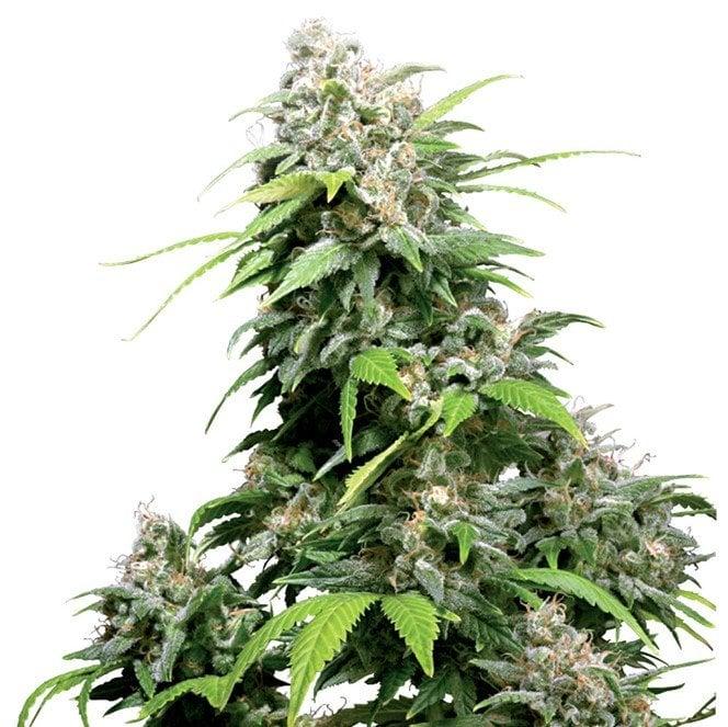 Lemon Skunk Autoflowering Marijuana Seeds