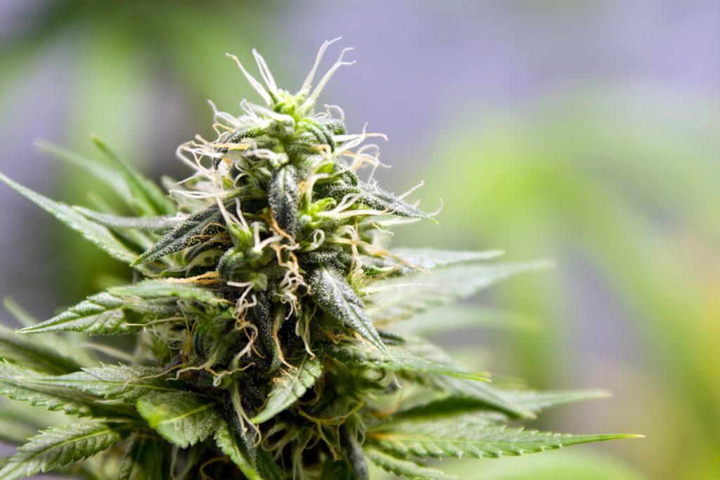 buy-cannabis-seeds-bangor