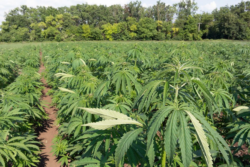 buy-cannabis-seeds-hammond