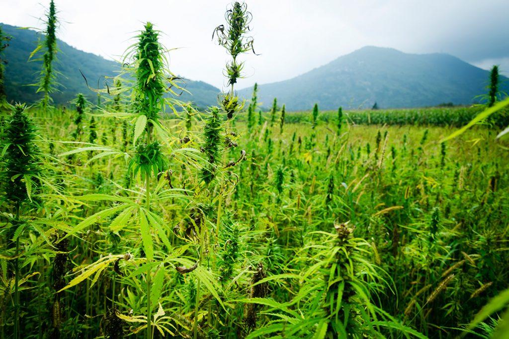 buy-cannabis-seeds-kenner