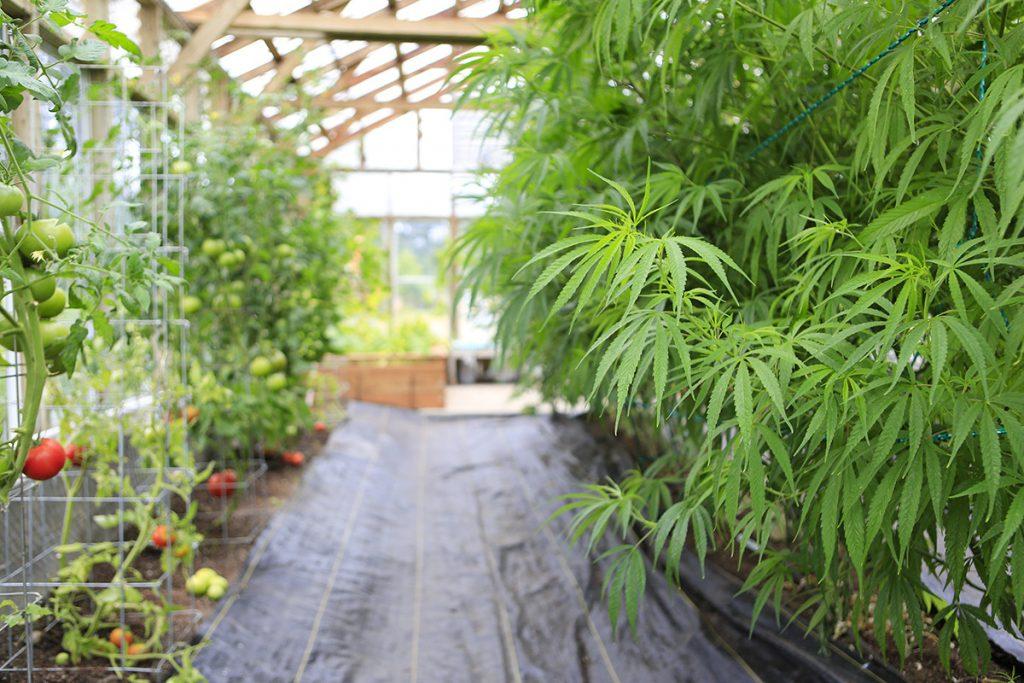 buy-cannabis-seeds-muncie