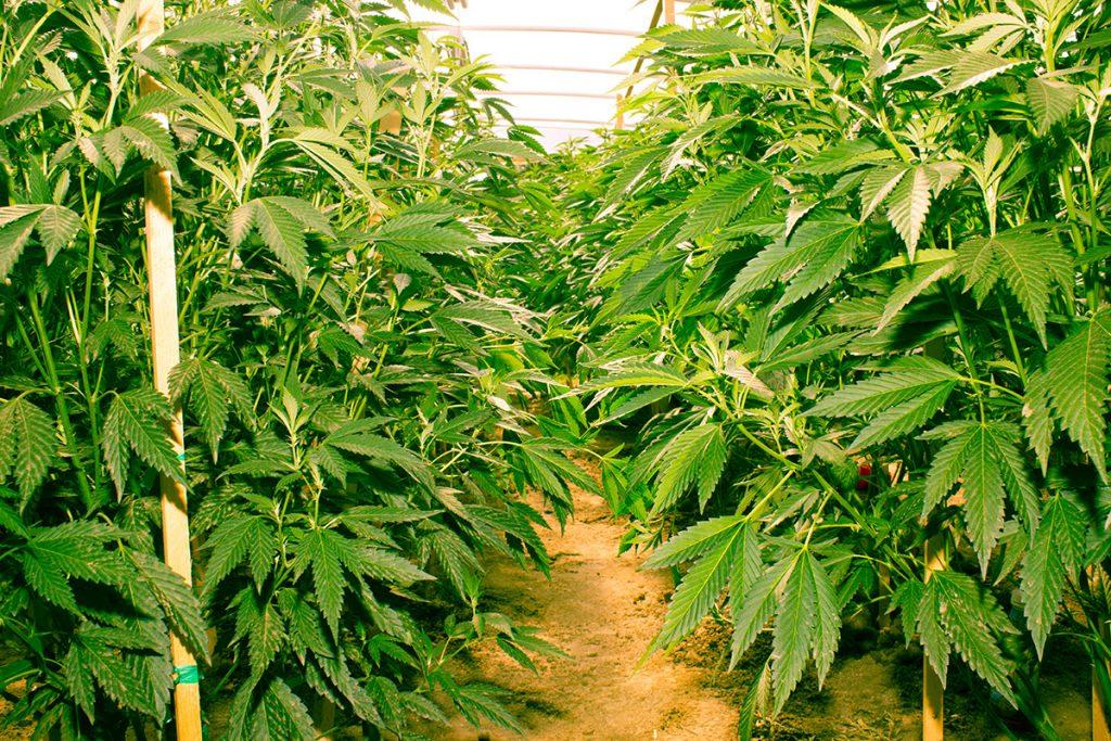 buy-cannabis-seeds-st-petersburg
