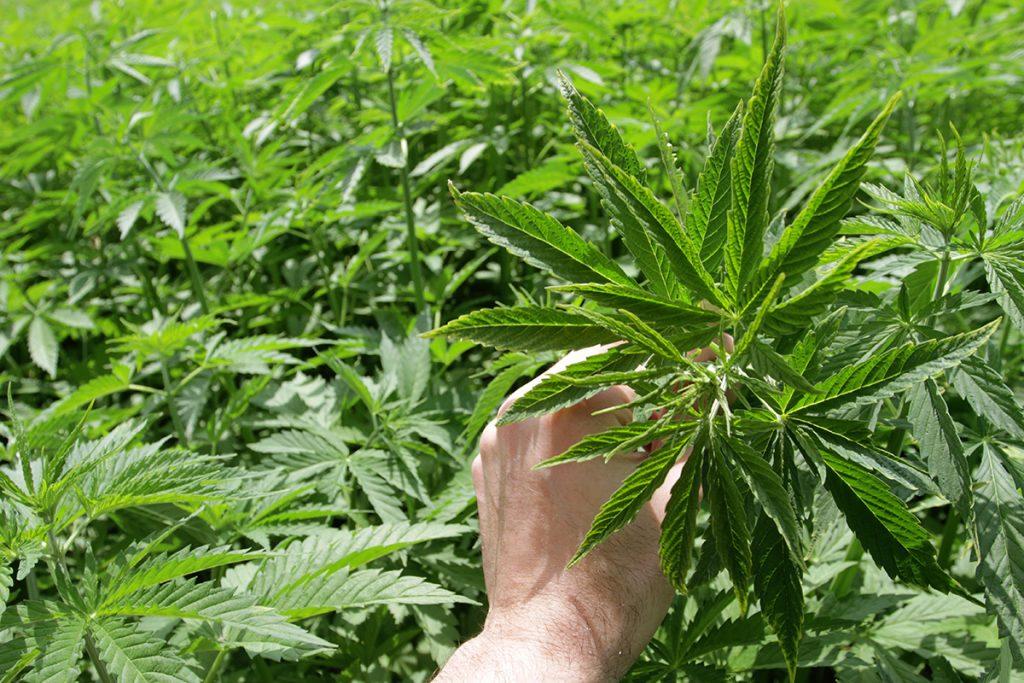 buy-cannabis-seeds-warren