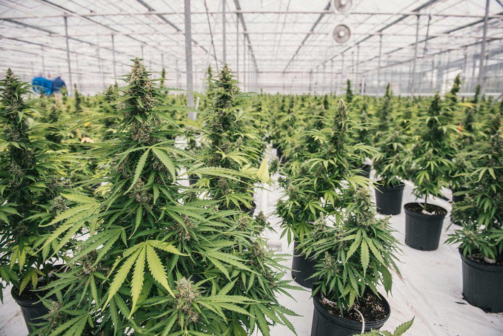 buy-marijuana-seeds-bowling-green
