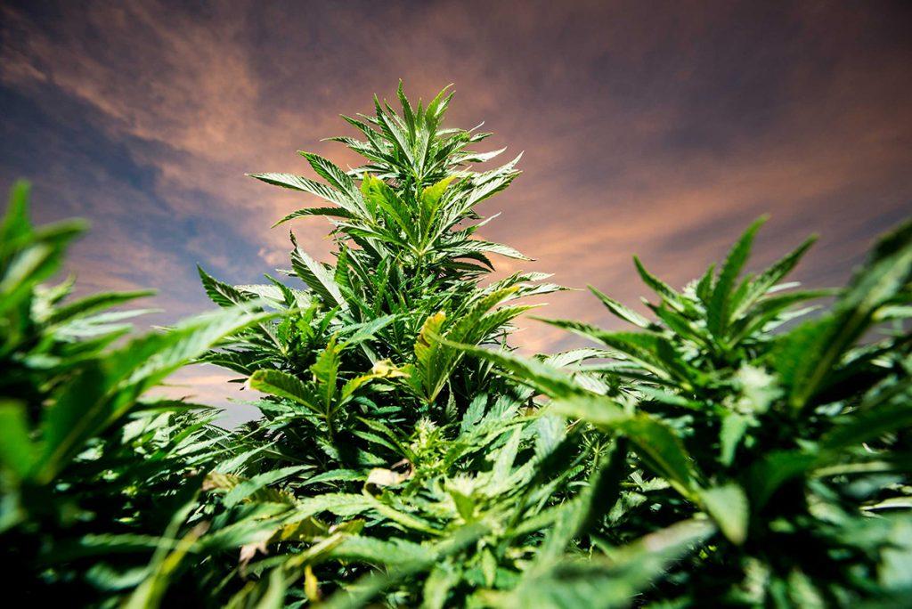 buy-marijuana-seeds-council-bluffs