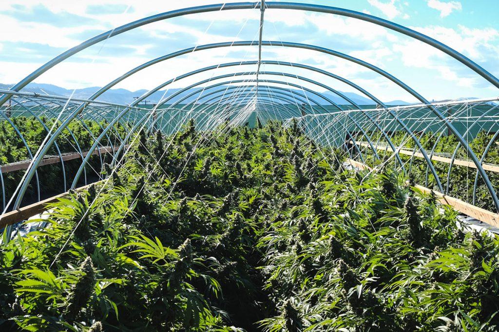 buy-marijuana-seeds-hammond