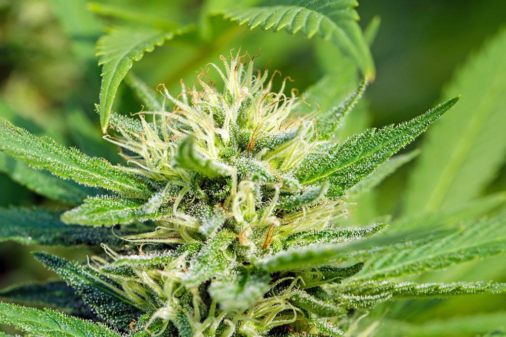buy-marijuana-seeds-iowa-city