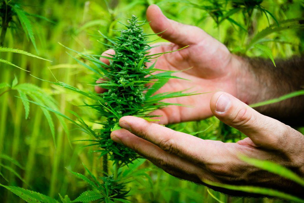 buy-marijuana-seeds-joliet