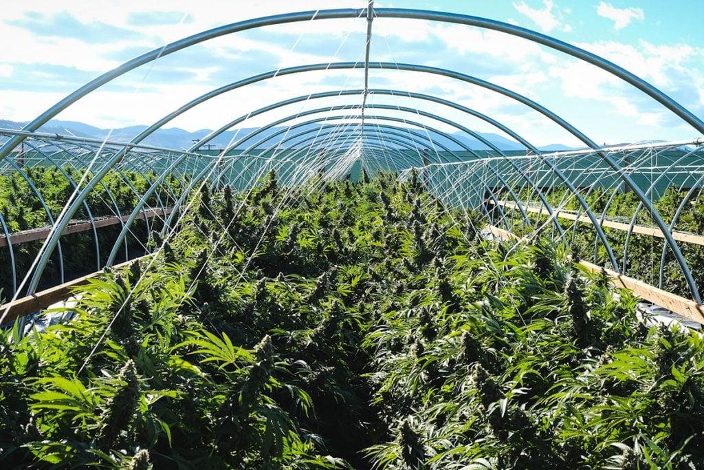 buy-marijuana-seeds-san-diego