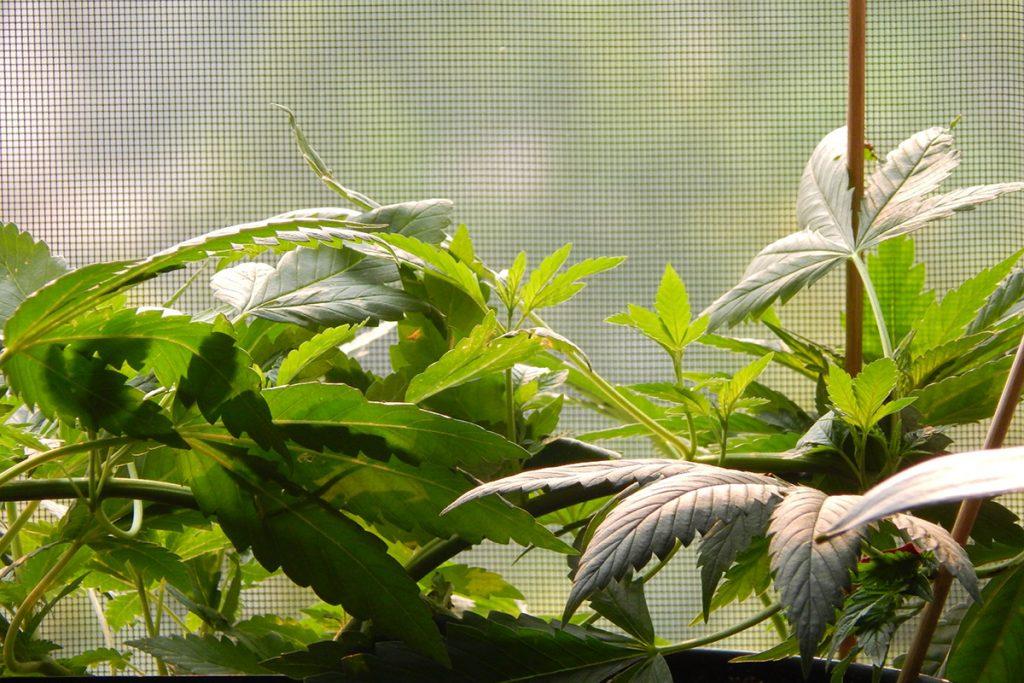 buy-marijuana-seeds-southaven
