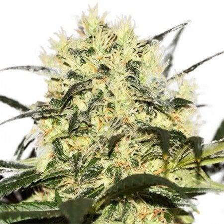 Grease Monkey Feminized Marijuana Seeds