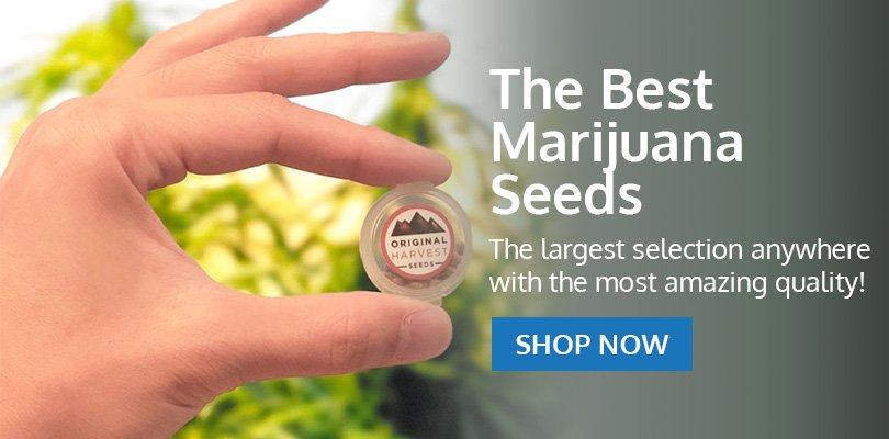PSB-marijuana-seeds-aberdeen-2
