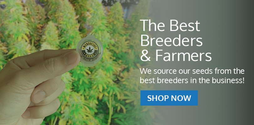 PSB-marijuana-seeds-greenville-1