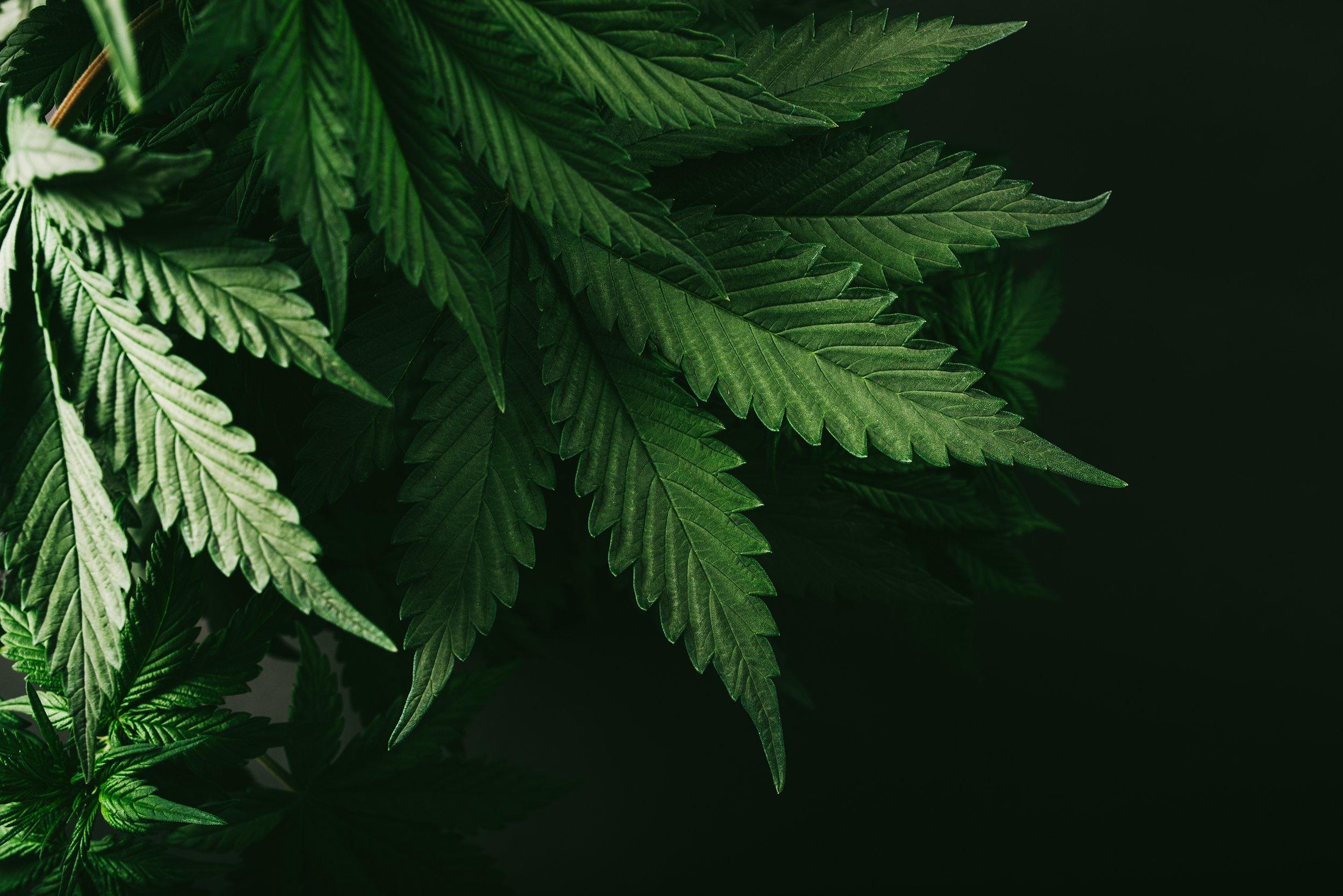 autoflowering cannabis seeds