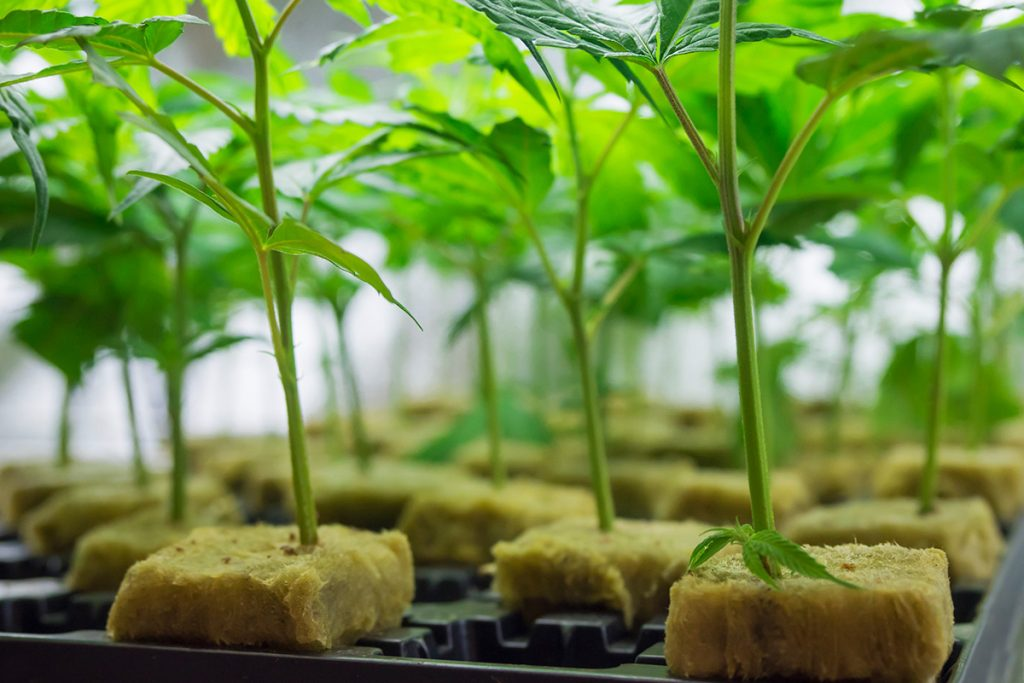 buy-cannabis-seeds-arlington