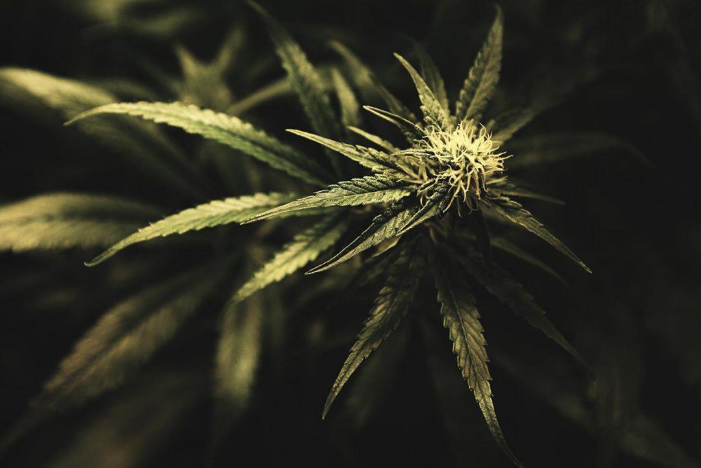 buy-cannabis-seeds-clarksville