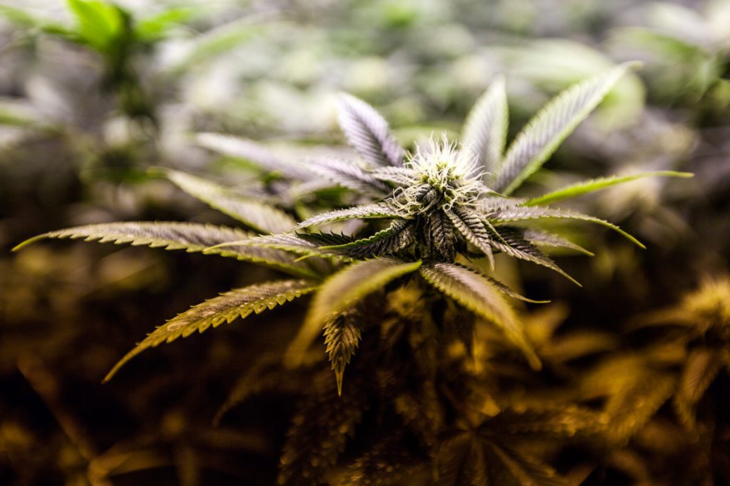 buy-cannabis-seeds-greenville
